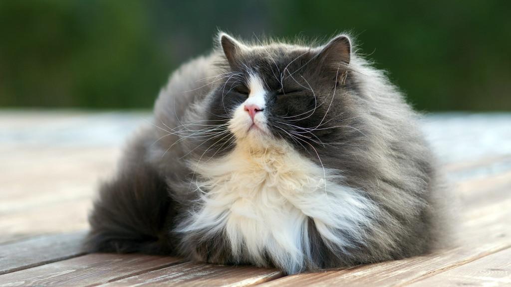 Шерсть у котов